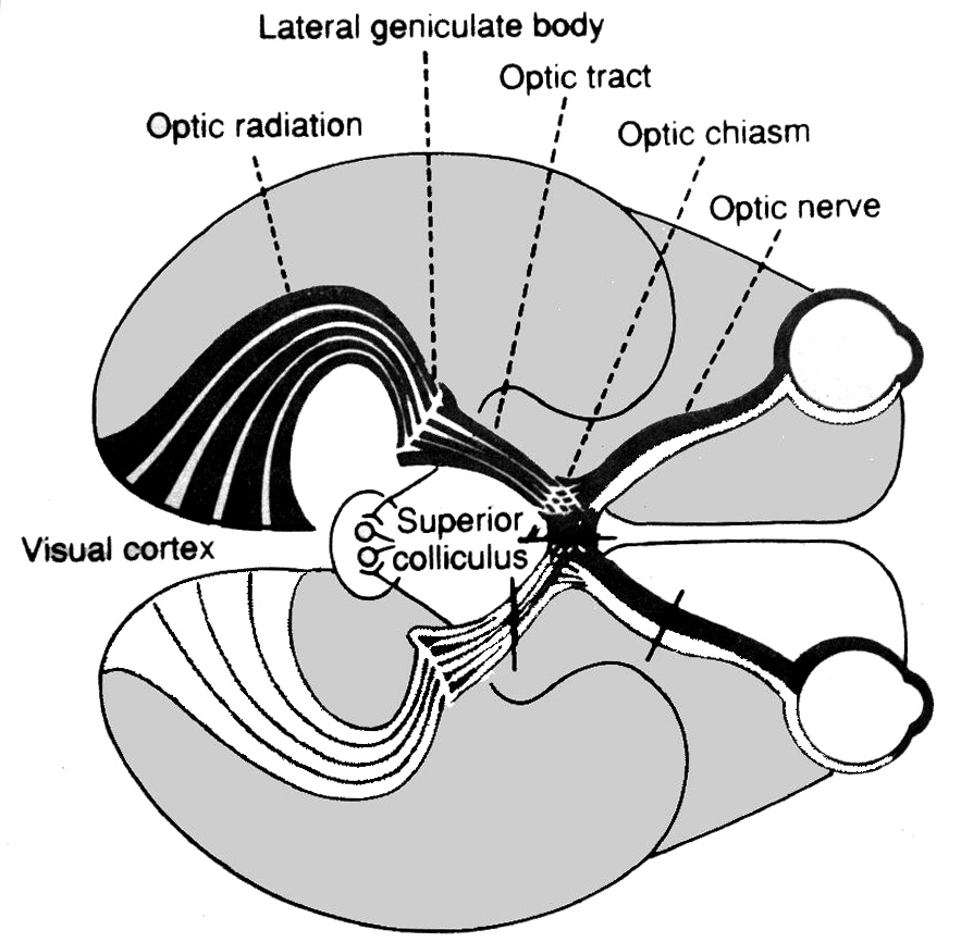 Processing of visual signals input of signals to the cns the optic chiasm and dorsal lateral geniculate nucleus ccuart Gallery