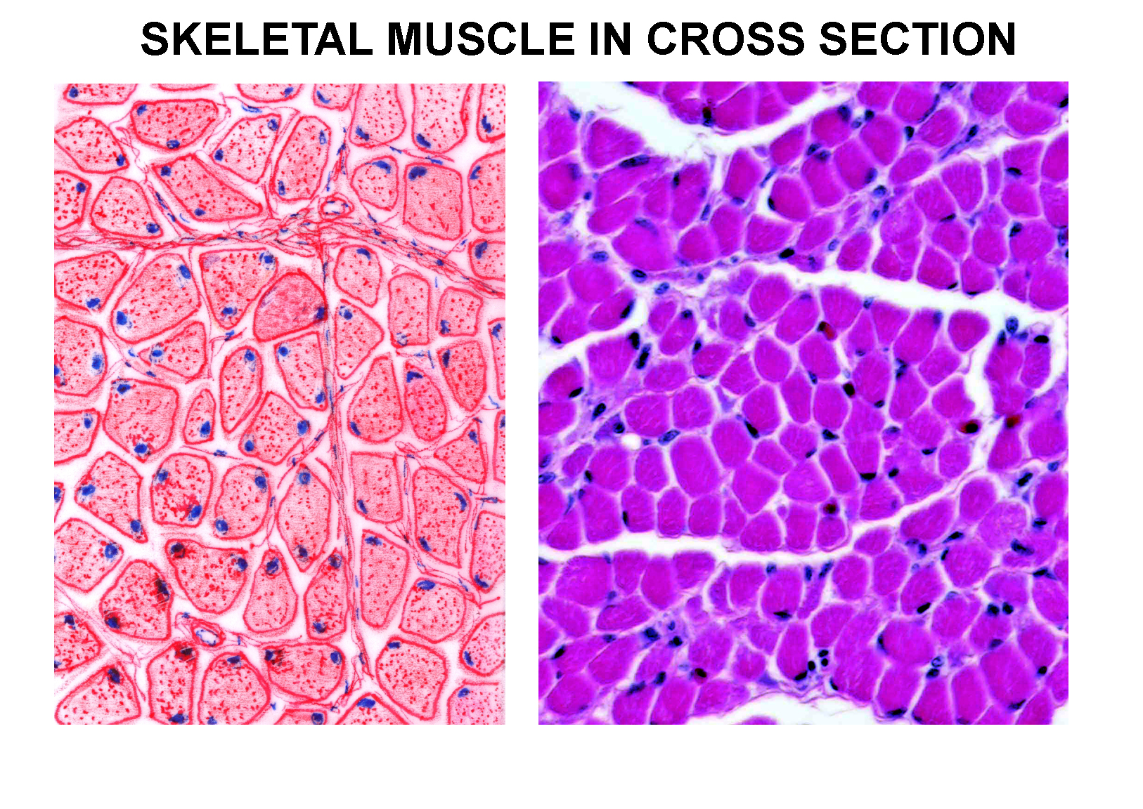 Lab 10 Smooth And Skeletal Muscle