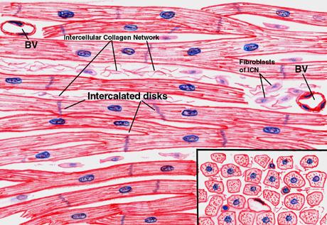 exercise 12a cardiovascular system: myocardium and heart, Muscles