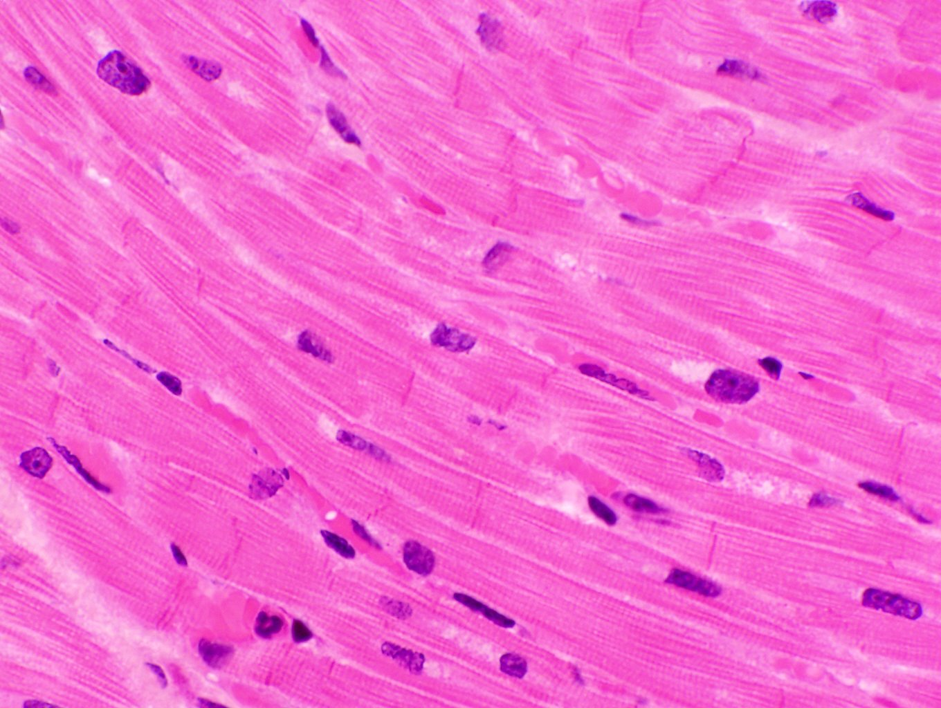 muscle cell under microscope, Muscles