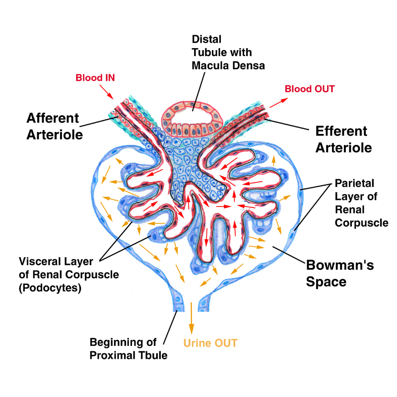 Exercise 23 urinary system portions of the nephron ccuart Image collections