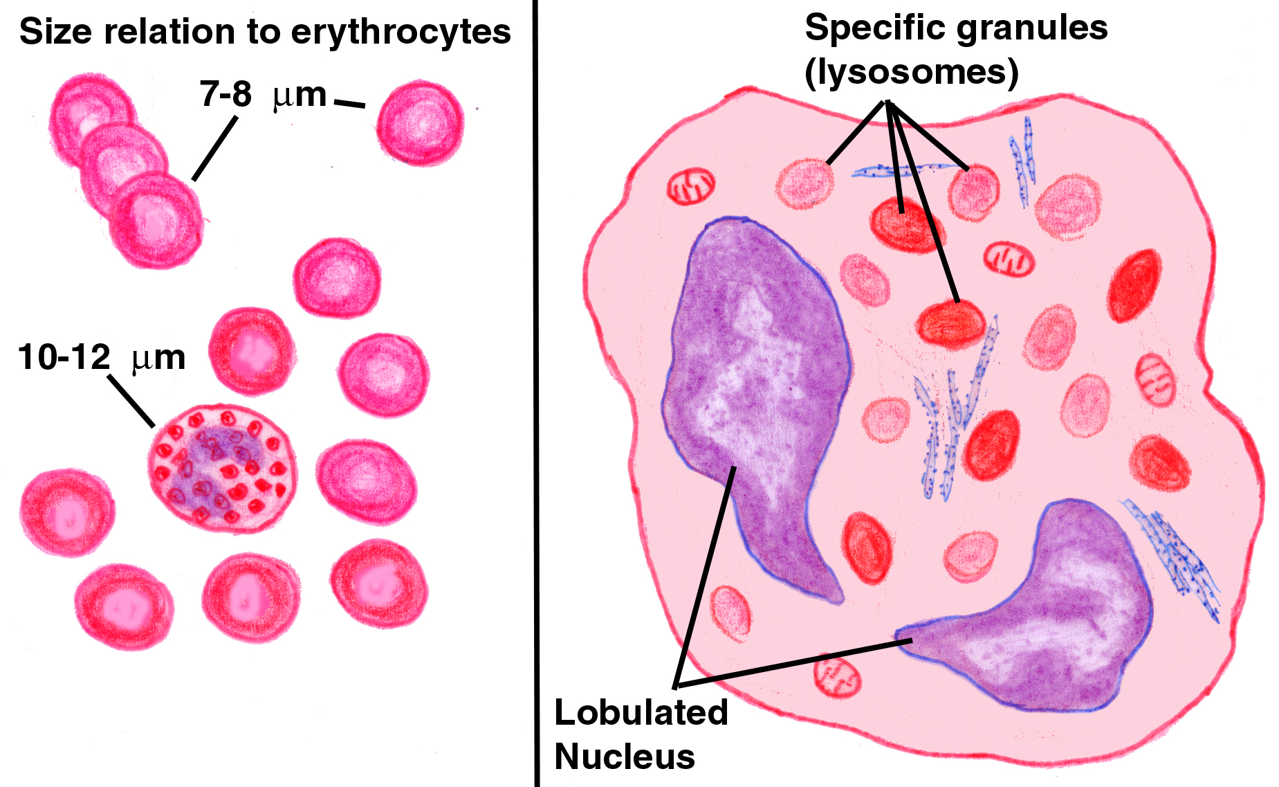 Neutrophils white blood cell diagram with labeled wiring library exercise 6 formed elements of blood rh doctorc net red blood cell organelle diagram the structure of blood cell diagram ccuart Image collections
