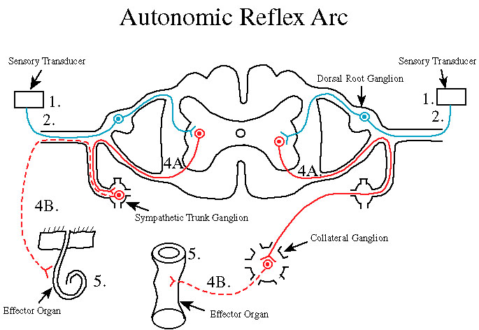 difference between somatic and visceral reflex